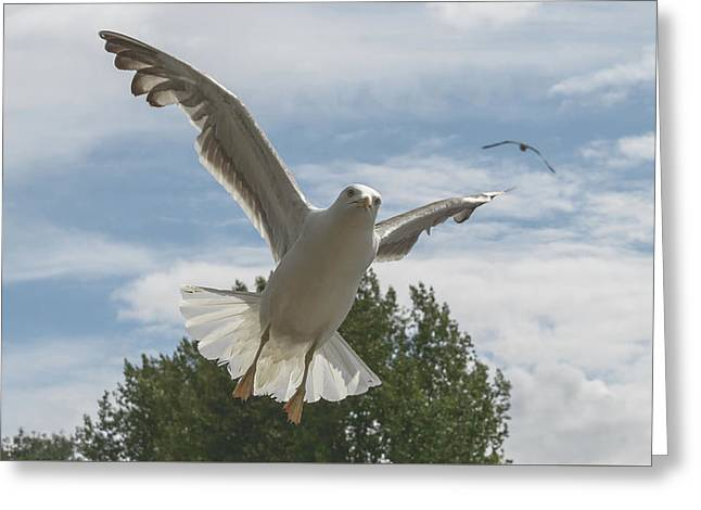 Adult Seagull In Flight Greeting Card
