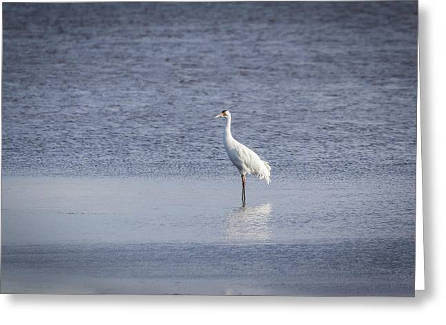 Adult Whooping Crane 2015-1 Greeting Card by Thomas Young