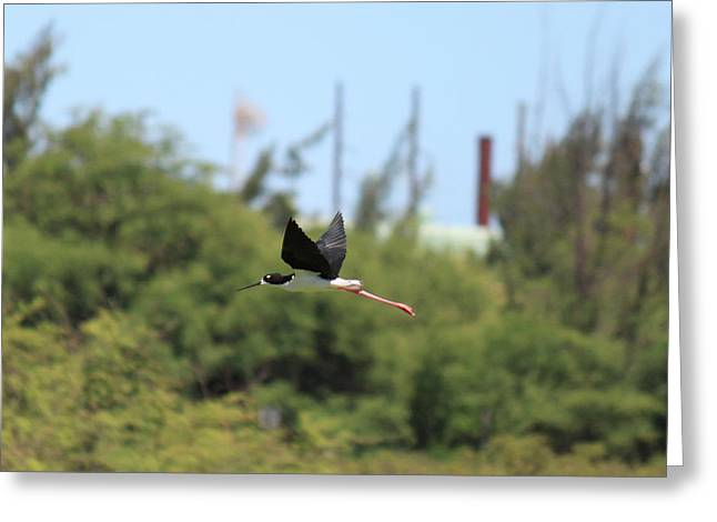 A'eo In Flight Greeting Card by Doris Perkins