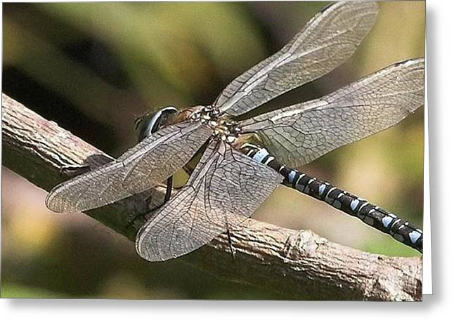 Aeshna Juncea - Common Hawker Taken At Greeting Card