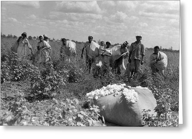 African Americans Picking Cotton Greeting Card