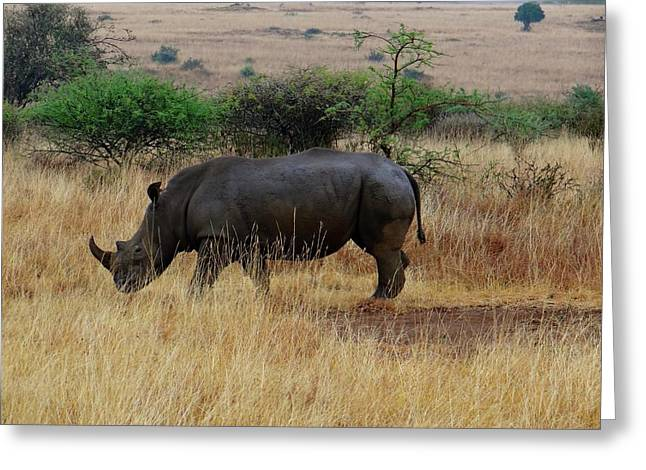 African Animals On Safari - One Very Rare White Rhinoceros Right Angle With Background Greeting Card