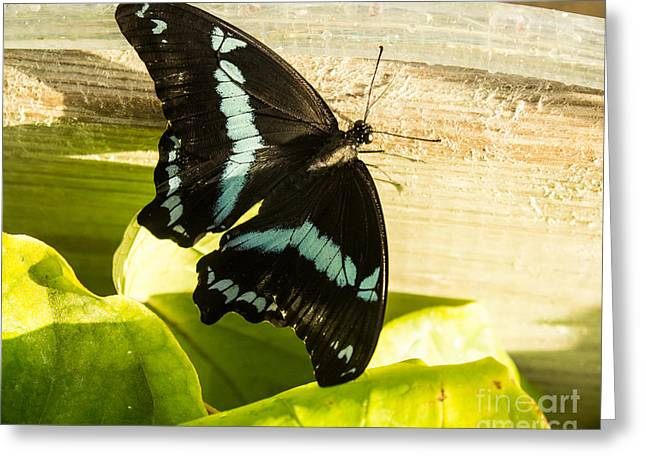 African Blue-banded Butterfly Greeting Card
