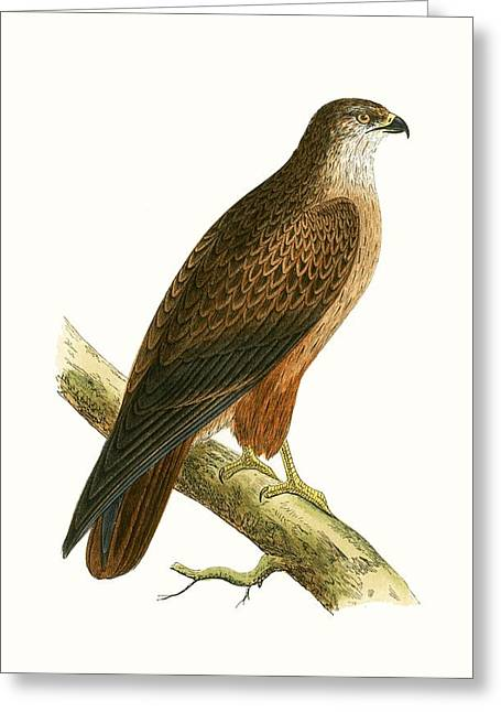African Buzzard Greeting Card by English School