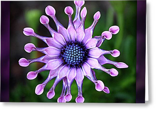 Shades Of Purple Greeting Cards - African Daisy - HDR Greeting Card by Carol Groenen