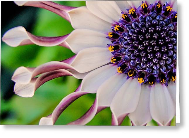 Greeting Card featuring the photograph African Daisy Squared by TK Goforth