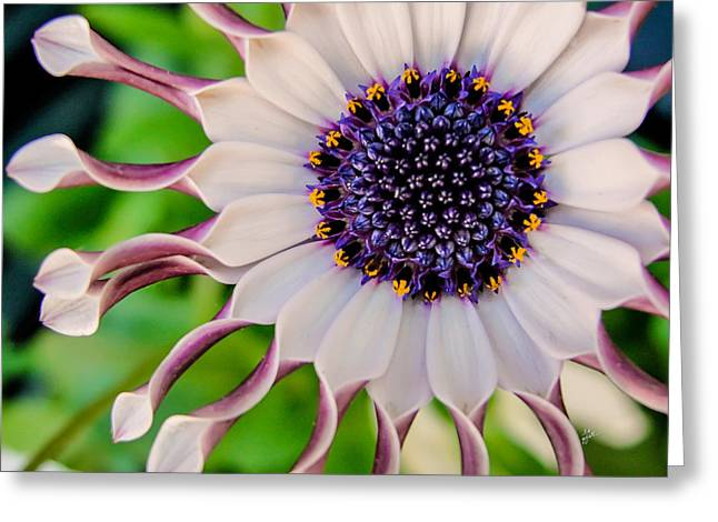 Greeting Card featuring the photograph African Daisy by TK Goforth