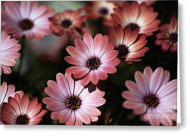 African Daisy Zion Red Greeting Card by Joy Watson