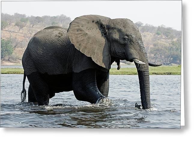 African Elephant - Bathing Greeting Card