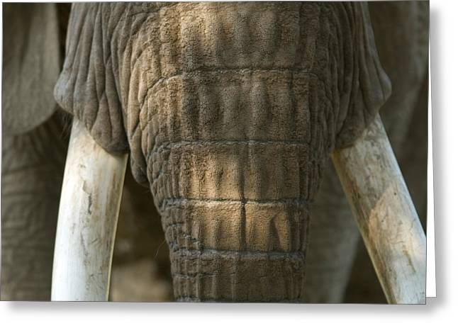African Elephant At The Omaha Zoo Greeting Card by Joel Sartore