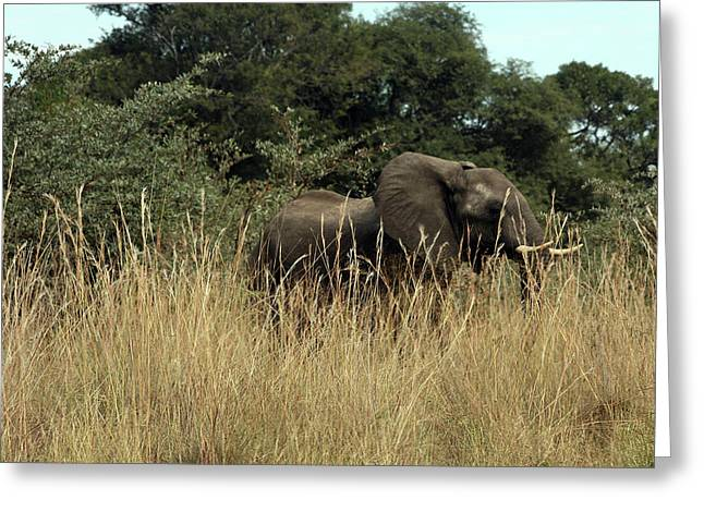 African Elephant In Tall Grass Greeting Card