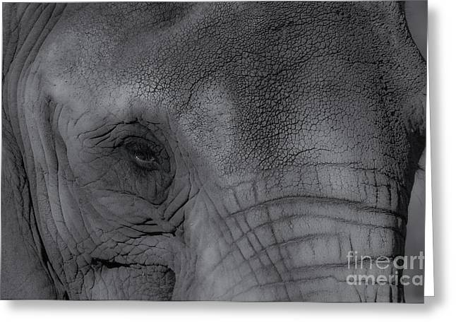 African Elephant One Eye View Black And White Greeting Card