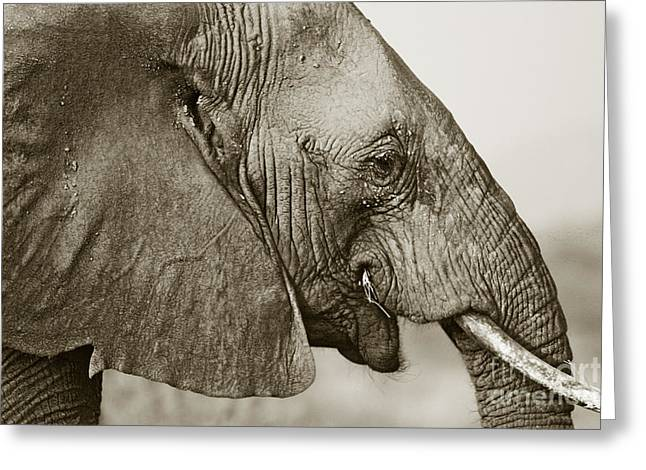 African Elephant Profile  Duotoned Greeting Card by Liz Leyden