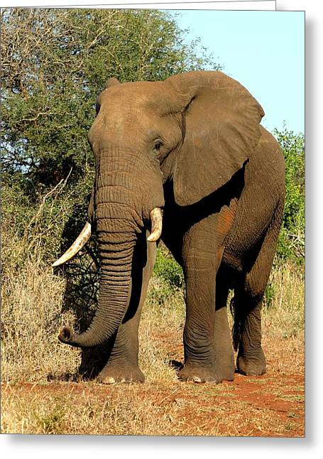 African Elephant Greeting Card by Riana Van Staden