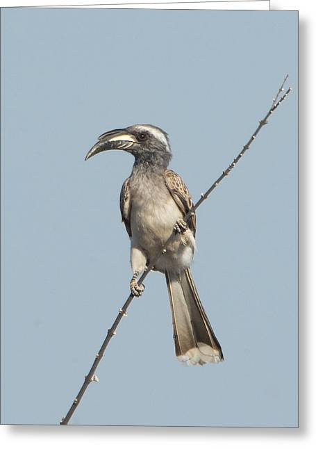 African Grey Hornbill Tockus Nasutus Greeting Card by Panoramic Images