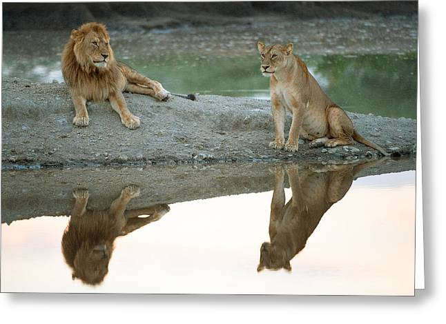 African Lion And Lioness Panthera Leo Greeting Card by Panoramic Images