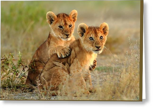 African Lion Cubs Greeting Card by Maciek Froncisz