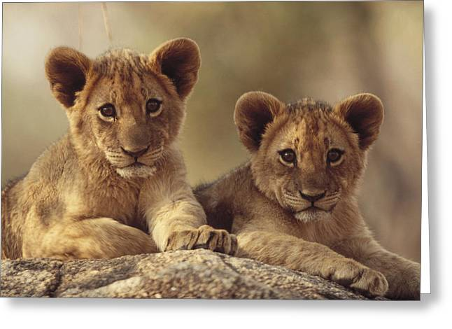 African Lion Cubs Resting On A Rock Greeting Card by Tim Fitzharris