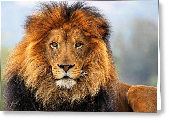 African Lion 1 Greeting Card