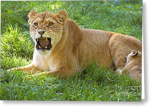 African Lion Mother With Young Greeting Card by Gerard Lacz