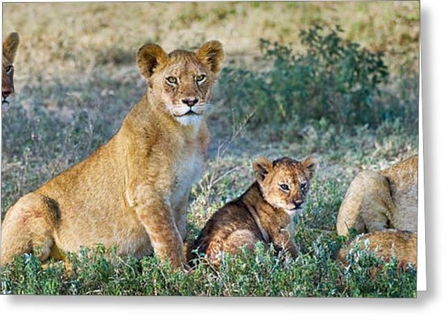 African Lion Panthera Leo Family Greeting Card by Panoramic Images
