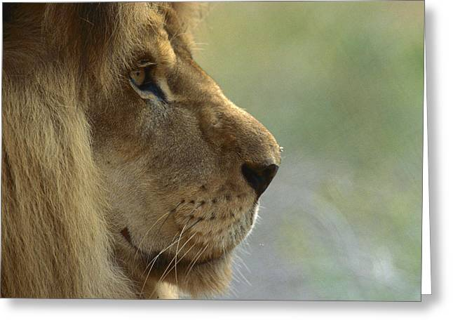 African Lion Panthera Leo Male Portrait Greeting Card by Zssd