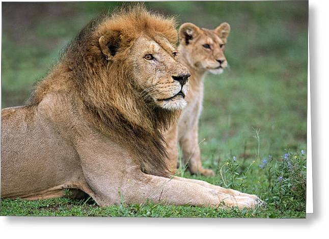 African Lion Panthera Leo With Its Cub Greeting Card by Panoramic Images