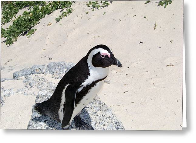 African Penguin Greeting Card by Evelyn Patrick