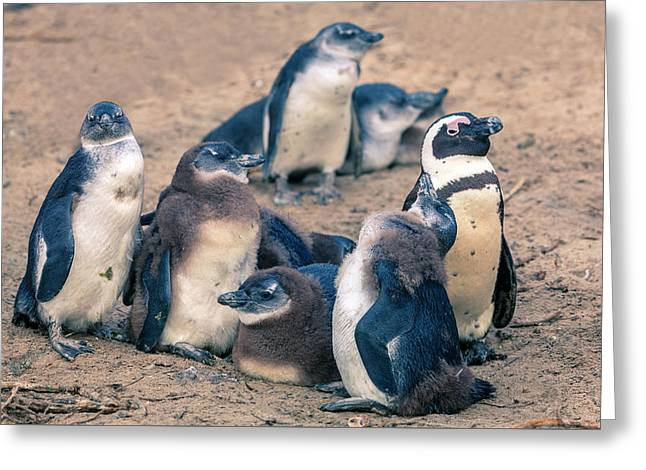 African Penguins Greeting Card by Alexey Stiop