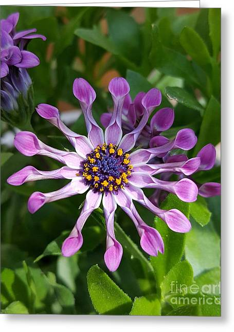 African Spoon Daisy Greeting Card by Chalet Roome-Rigdon