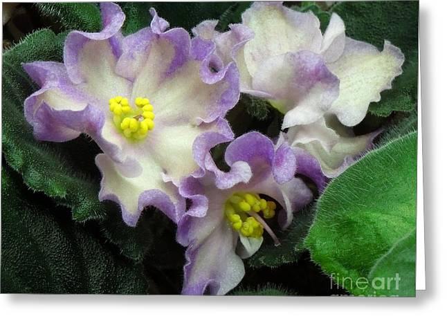 African Violet 'hawaiian Pearl' Greeting Card