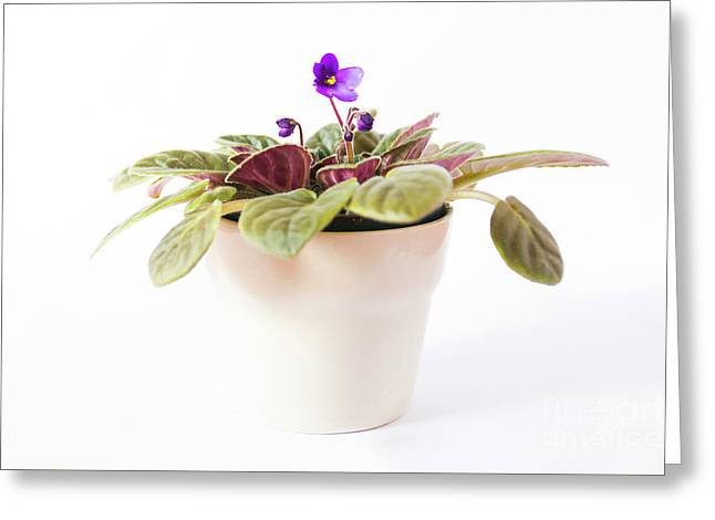 African Violet Greeting Card by Thubakabra