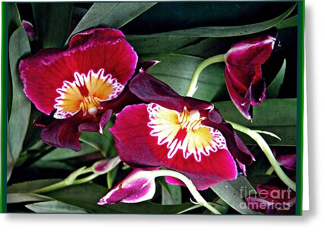 Red Pansy Orchids Greeting Card