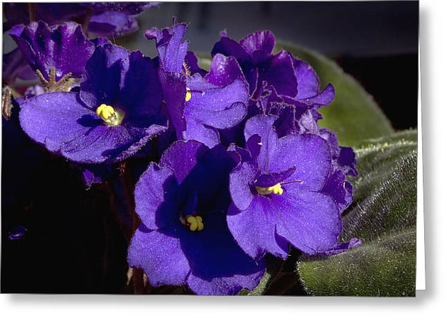Greeting Card featuring the photograph African Violets by Phyllis Denton
