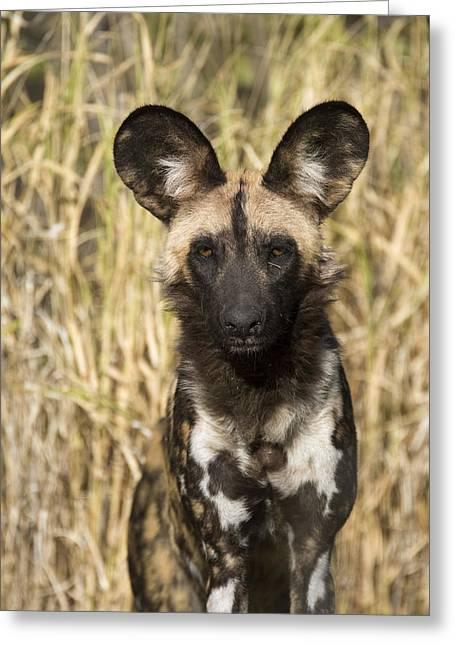 Greeting Card featuring the photograph African Wild Dog Okavango Delta Botswana by Suzi Eszterhas