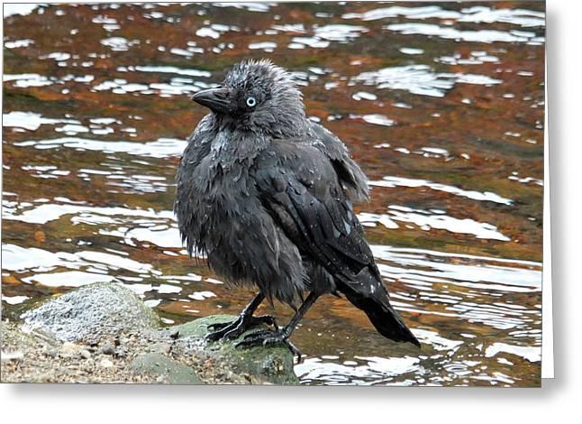Jackdaw - After A Bath Greeting Card