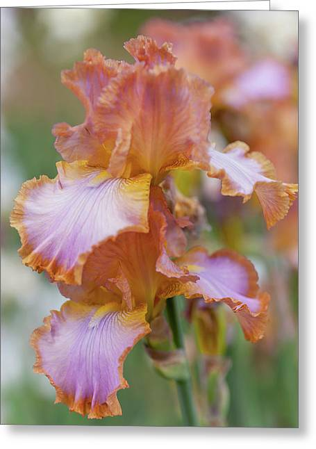 Afternoon Delight 2. The Beauty Of Irises Greeting Card
