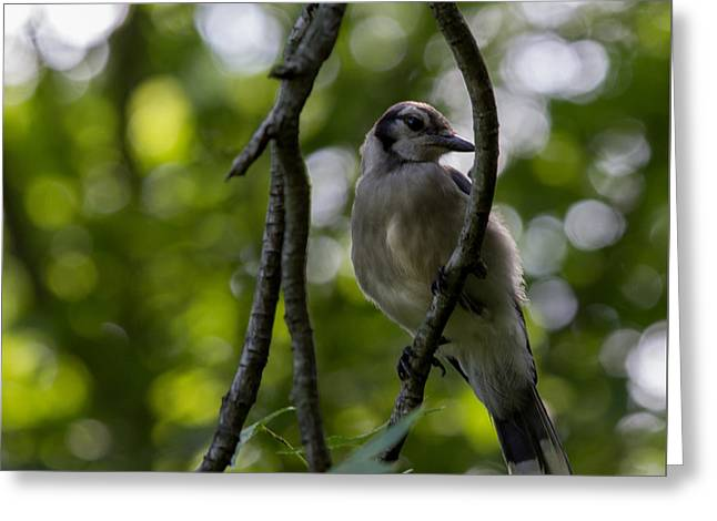 Afternoon Perch Greeting Card by Brian Manfra