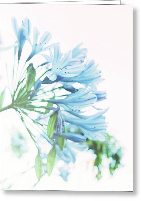 Greeting Card featuring the photograph Agapanthus 1 by Cindy Garber Iverson