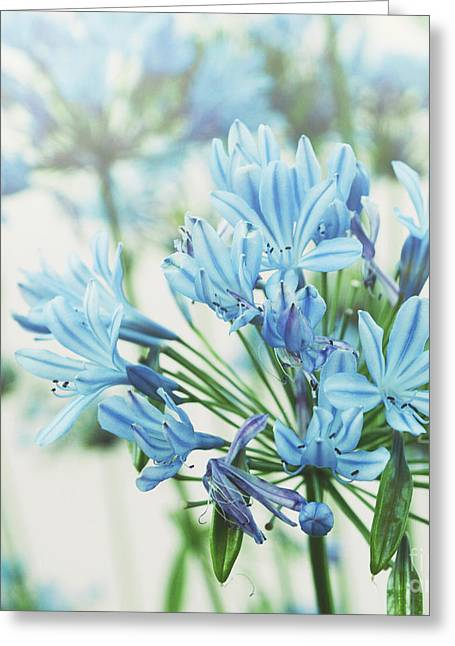 Greeting Card featuring the photograph Agapanthus 2 by Cindy Garber Iverson