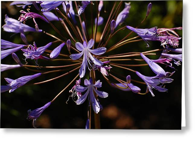 Agapanthus Burst Greeting Card by Jean Booth