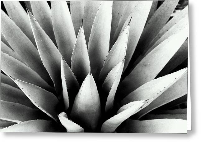 Agave In Black And White Greeting Card