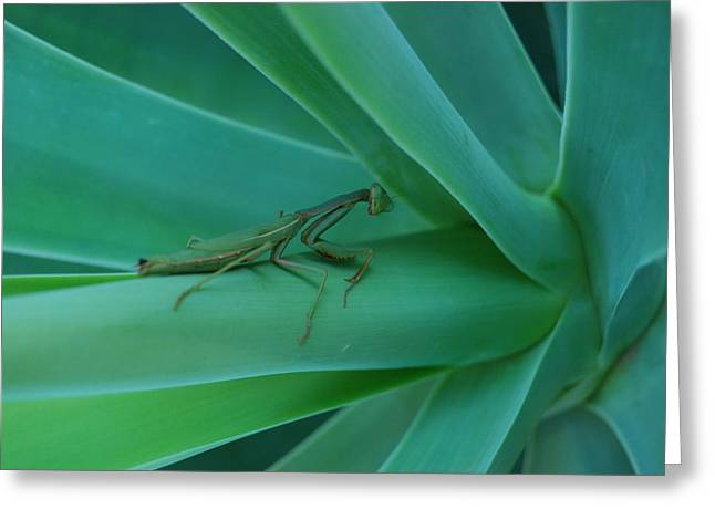 Agave Praying Mantis Greeting Card
