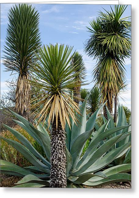 Agaves And Yucca. Greeting Card by Rob Huntley