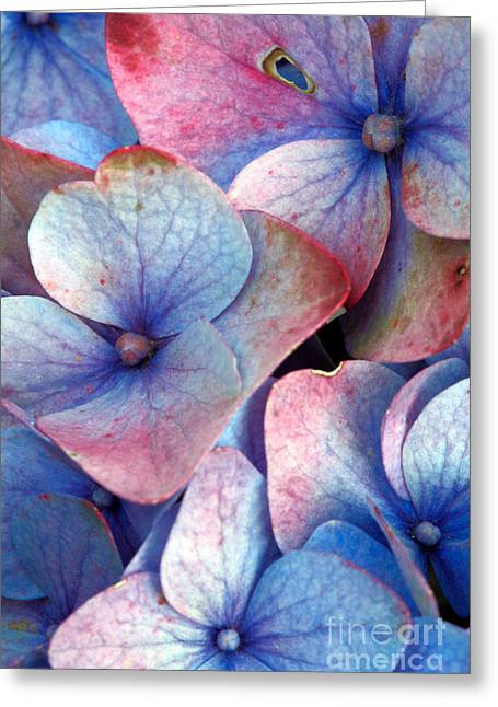 Ageing Hydrangea Greeting Card by Gaspar Avila