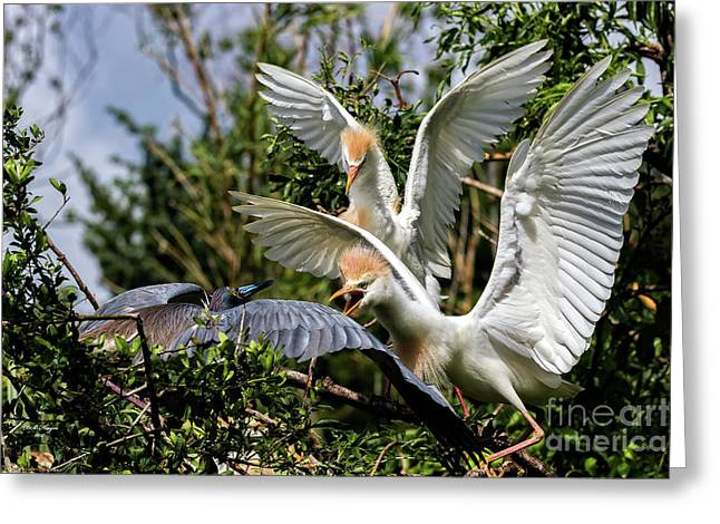 Aggression Between Cattle Egrets And Tricolored Heron Greeting Card