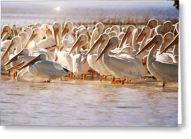 Aglow White Pelicans Greeting Card by Sheri McLeroy