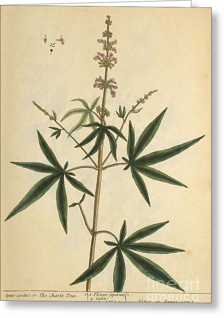 Agnus Castus, Medicinal Plant, 1737 Greeting Card by Science Source