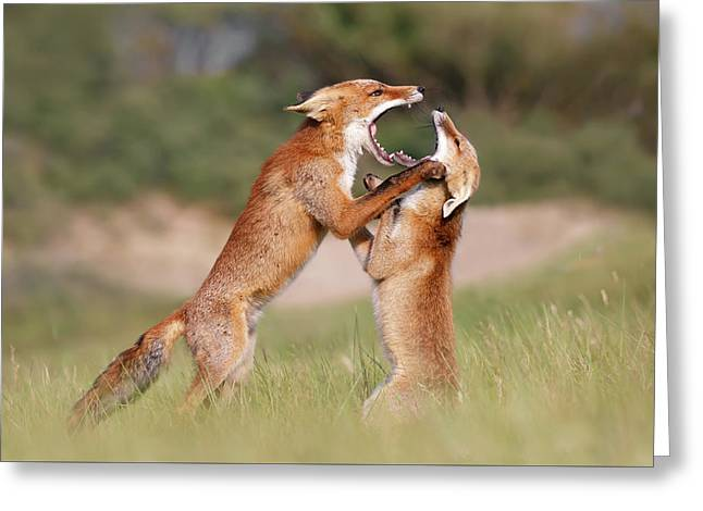 Agreeing To Disagree - Fox Fight Greeting Card