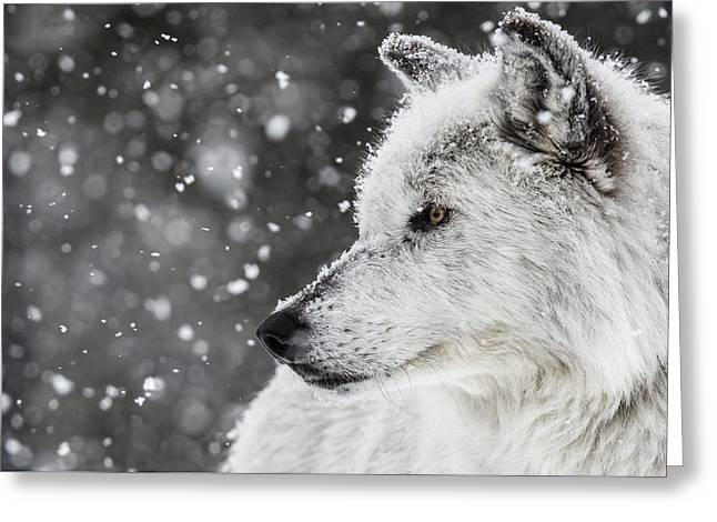 Akela The Wolf Greeting Card by Andrew Wells